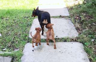 Baby Mini Pinscher For SALE