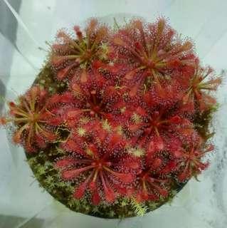 neocaledonicaxaliciae #食虫植物