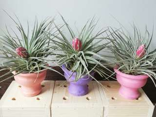 Air Plant with Clay Fountain