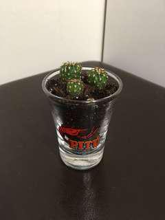 Cacti Arrangement in Shot glass