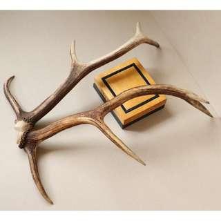 對角 DEERLIFE鹿生活 歐洲自然脫落紅鹿角 54/57cm 純天然鹿角裝飾 LOFT工業風格室內設計 居家風水擺件