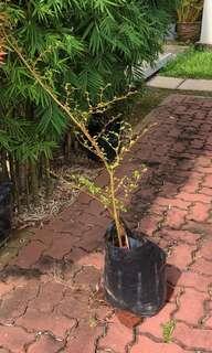 Bucida Plant