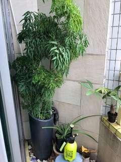 日本森樹 連花盆 (不連裝飾掛貓)