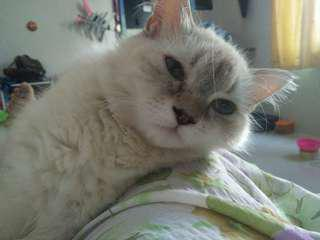 Kucing Himalayan Persian Blue Eyes