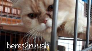 Adopt Kucing Flatnose