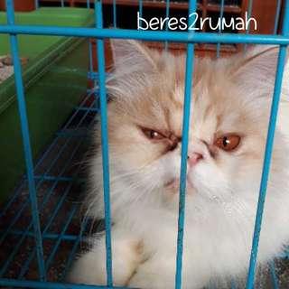 Adopt Kucing Peaknose