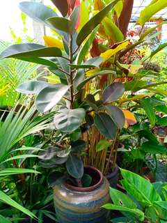 Rubber plant with pot