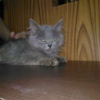 pure grey persian cat