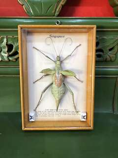 Taxidermy insect specimen Giant Green Stick Insect