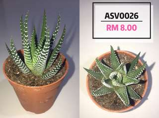Cactus and succulent plants