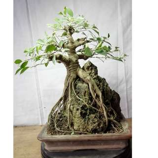 Bonsai Ficus Microcarpa ON THE ROCK Exposed Roots