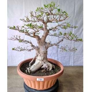 Bonsai Ficus Microcarpa J101