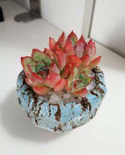 現貨 多肉植物 連盆土 顏色如圖