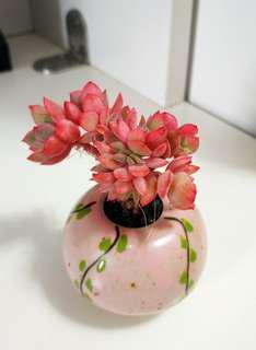 (已售,欣賞)控養琦羅老樁 韓國多肉植物