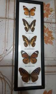 butterfly 蝴蝶標本5隻