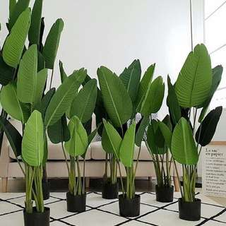 Premium banana plant 120cm