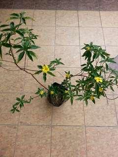 Pokok Bunga Delapan