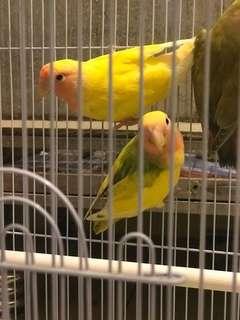 16隻大及2隻愛情鳥BB尋主人!隻隻健康活潑!送大䲵籠!愛情鳥 Love Bird