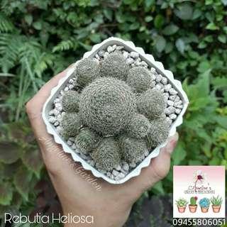 Common Cactus