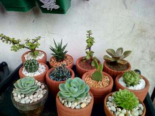 Cactus n Succulents in a Clay Pot