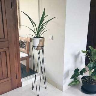 Standing plant + Pot + Plant Aglonema