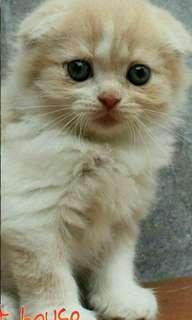 Kucing Scottish Fold Betina