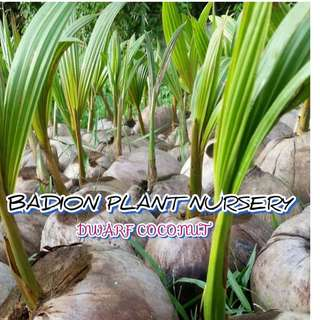 DWARF COCONUT SEEDLINGS