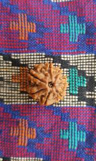 7 Face Rudraksha NEPAL (Ganges Water Offering)