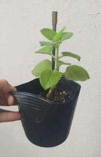 Cuban Oregano Herb