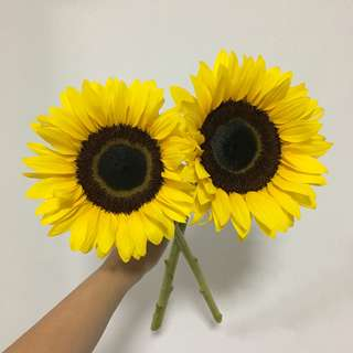 Huge Sunflowers