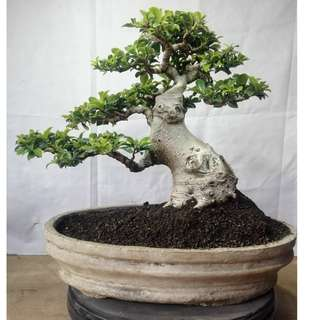 Bonsai Ficus Retusa Coreana ELEGANT TREE