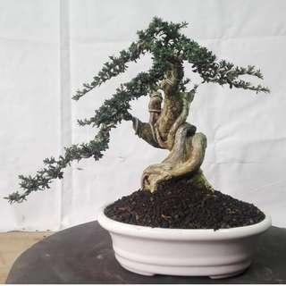 Bonsai Serisa Foetida Micro Zarguruma