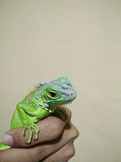"""For sale """"Baby iguana colombia"""""""