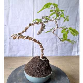 Bonsai Tamarindus Indica WAVED STYLE