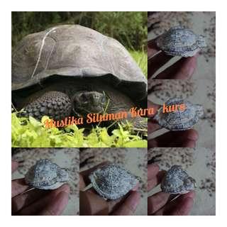 Batu mustika kura - kura