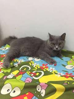 british shorthair mix persia