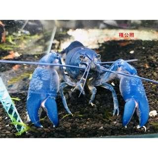 純藍螯蝦仔蝦/亞成(分公母)
