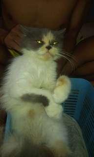 Kucing anggora persia long hair