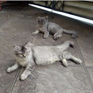 Kucing Persia Medium (Kitten)