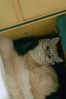 Dijual kucing persia warna cream