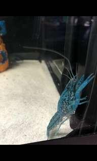 Deep blue Self Clone Marble Crayfish