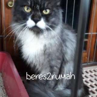 RE-PRICE!! KUCING PERSIA