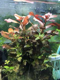 Red Aquarium Plant