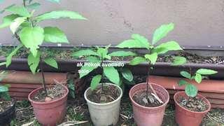 Anak pokok avocado and durian