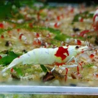純血錦系SSS極品輝煌深紅濃白厚甲紅腳表現成蝦公