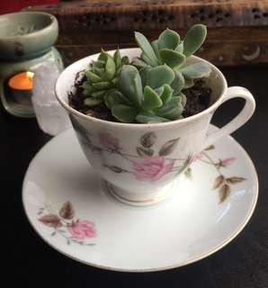 Succulent variety in a tea cup