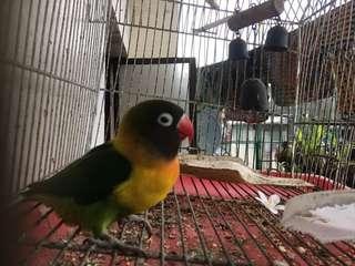 Lovebird (female)