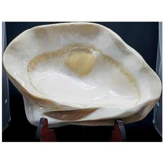 Tridacna Raw Shell (砗磲贝壳)