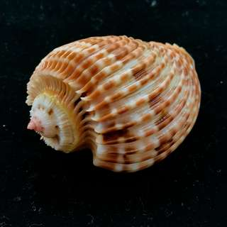 XTREMELY RARE TOP QUALITY SPECIMEN Sea Shell ( Harpa costata ) 58.0mm, Gem-, FRESH! VIVID COLOUR. For seashell collectors