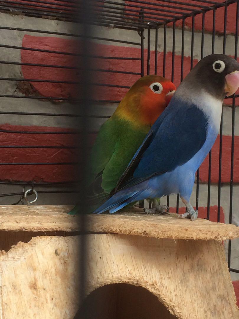 87  Gambar Burung Lovebird Marimas HD Paling Keren Free